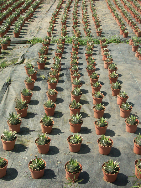 Costa Rica_Auf einer Ananasplantage
