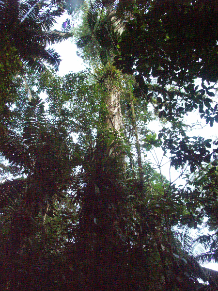 Costa Rica_Im Reservat Tirimbina_Ceiba-Baum