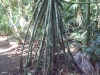 Costa Rica_Im Reservat Tirimbina_Laufende Palme