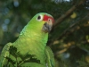 Costa Rica_Im Reservat Tirimbina_Rotstirnamazone