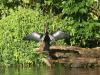 Costa Rica_Nationalpark Tortuguero_Schlangenhalsvogel