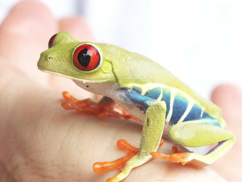 Costa Rica_Nationalpark Tortuguero_Rotaugenlaubfrosch