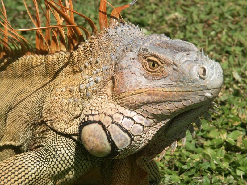 Costa Rica_Nationalpark Tortuguero_Leguan