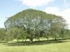 Costa Rica_Arbol de Guanacaste  - der Nationalbaum von Costa Rica