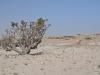 Im Wadi Dhawkah_Weihrauchbaum