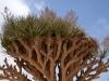 In den Qara-Bergen_Drachenbaum