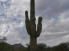 Arizona_Saguaro-Kaktus