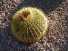 Arizona_Echinocactus grusonii