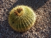 Arizona_Echinocactus grusonii