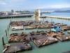 San Francisco - Fisherman's Wharf - Robbenkolonie